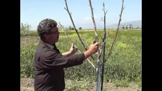 getlinkyoutube.com-Διαμόρφωση δέντρου καρυδιάς/πως κλαδεύουμε τις καρυδιές. Απρίλιος 2016