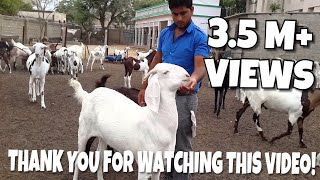 Altaf goat farm
