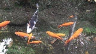 "getlinkyoutube.com-庭の金魚 "" 自然飼育 "" の 風景 ~ Goldfish pond"