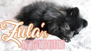 getlinkyoutube.com-Zula's MORGENROUTINE ( Pomeranian ) 😍 | Dagi Bee