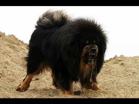 Police Shoot Dead Giant Tibetan Mastiff That Attacked Worker
