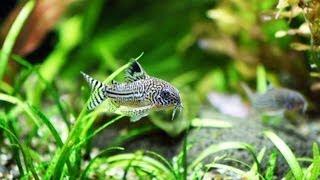 How to Pick Bottom Eating Fish   Aquarium Care