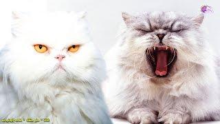 أغلى 10 سلالات قطط فى العالم