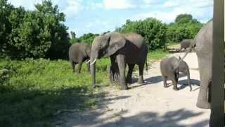 getlinkyoutube.com-Botswana Safari 2 - Chobe National Park & the Okavango Delta