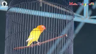 SUARA BURUNG - Aksi Lovebird