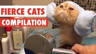 getlinkyoutube.com-Fierce Cats Video Compilation 2016