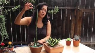getlinkyoutube.com-Popular Indoor Succulents