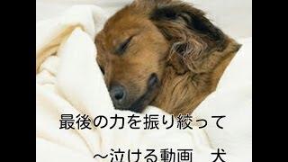 getlinkyoutube.com-最後の力をふりしぼって ~泣ける動画 犬