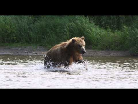 Grizzly Bear Running Slow Motion Epic 2K