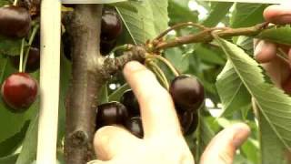 getlinkyoutube.com-Cherry, Plum & Apricot Mini Orchard