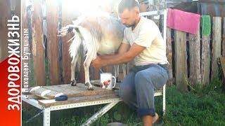 """getlinkyoutube.com-Рогатые, хвостатые, четвероногие. О козах, из серии """"Мой скромный опыт"""""""