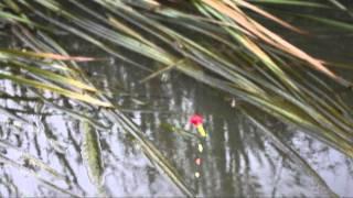 getlinkyoutube.com-ホソで小鯉釣り Carp Fishing video