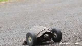 90-Year-Old Turtle Gets A Wheel After Rat Attack