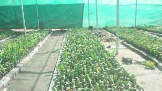 getlinkyoutube.com-Budidaya Buah Naga