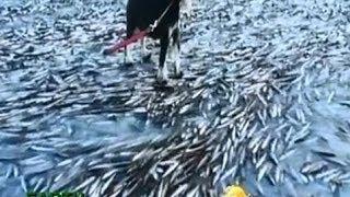 getlinkyoutube.com-นอร์เวย์หนาวเฉียบพลันฝูงปลานับพันตายคาอ่าว