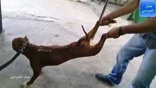 getlinkyoutube.com-طريقة مسك كلب البيتبول اذا هاجم شخص مع جمال العمواسي