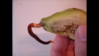 How to grow a mango tree from seed