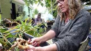 getlinkyoutube.com-What we do with Ginger After Harvest