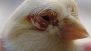 getlinkyoutube.com-علاج الطيور من تساقط الريش حول العين والعنق والرأس