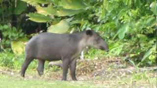getlinkyoutube.com-Tapir