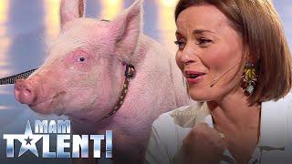 getlinkyoutube.com-Nie uwierzysz, co zrobiła świnia na castingu do Mam Talent! Śmierdząca sprawa! :)