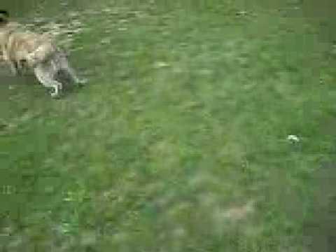 qeni i sharrit i kikimit
