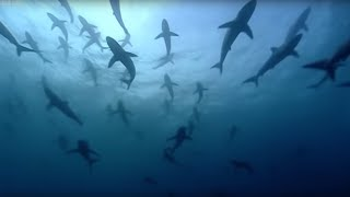 Thousands of sharks visit a sea mount | Blue Planet: A Natural History of the Oceans | BBC width=