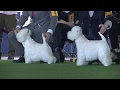 West Highland White Trerrier Westminster dog show 2017 b