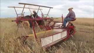 getlinkyoutube.com-Massey Harris Wheat Binder In Action