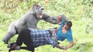 getlinkyoutube.com-Crazy Giant Gorilla And Chimp Attack Humans