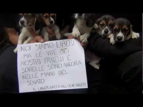 Cinque dei beagle liberati da Green Hill il 28 aprile 2012