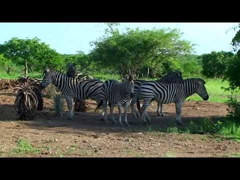 Vidéo Afrique du sud découverte des animaux sauvages du parc Paul  Kruger