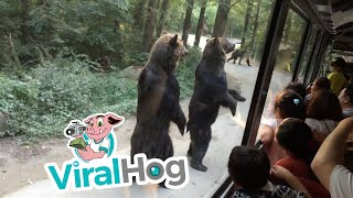 Standing Bears Entertain Tourists on Bus