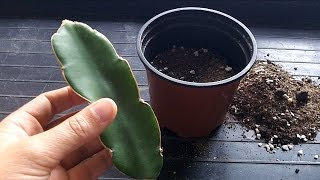 getlinkyoutube.com-How to grow a Dragon Fruit Cactus from a cutting (Hylocereus)