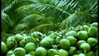 getlinkyoutube.com-Coconut Plantation BD