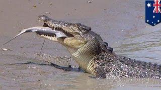 getlinkyoutube.com-Krokodyl vs rekin: Brutus, krokodyl z Adelaide River zjada rekina!