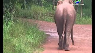 getlinkyoutube.com-15-8-57 ช้างป่าแม่ลูกอ่อนแตกโขลงคลั่งที่ลูกหาย
