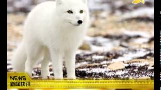 getlinkyoutube.com-CQTV:北极狐祖先 源于500万年前青藏高原?
