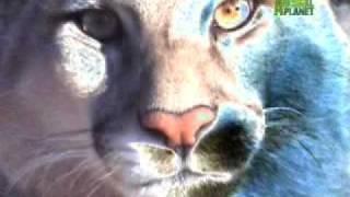Nature's Perfect Predators- Mountain Lion
