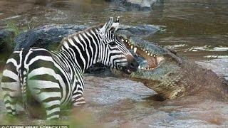 getlinkyoutube.com-Crocodile Attack animals ☻Animals Attack 2016 HD