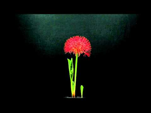 Time Lapse -- The Dancing Flower (Scadoxus multiflorus, Blood Lily, Flor de Natal)