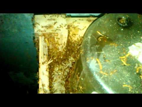 proses pemindahan dan adaptasi semut rangrang dari alam ke sarang toples