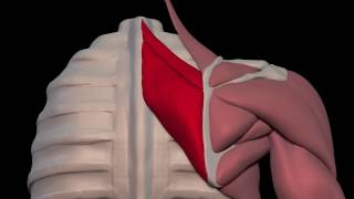Arm Muscles: 08 Rhomboid Major and Minor