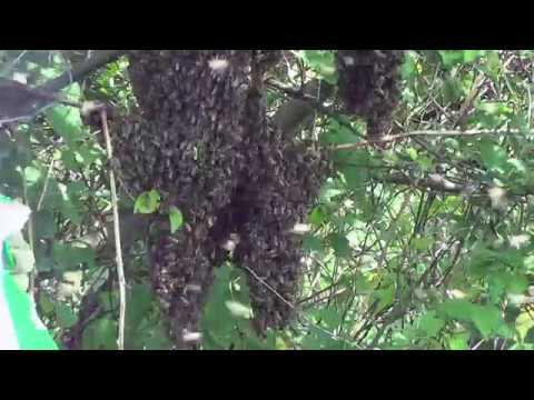 Rojenje - Prirodan nagon košnice za razmnožavanjem