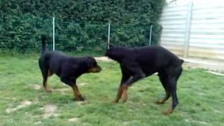 getlinkyoutube.com-Dobermann vs rottweiler 2