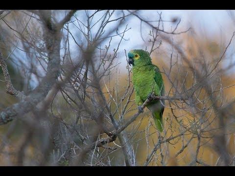 Amazona Aestiva - Papagaio Verdadeiro