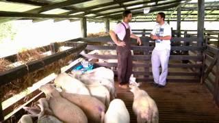 getlinkyoutube.com-Escuela de campo: Alimentación y nutrición en ovinos - 15 de agosto
