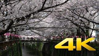 Tokyo Nakameguro Cherry Blossom