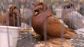 getlinkyoutube.com-Fancy Pigeon Breeds - Part 2
