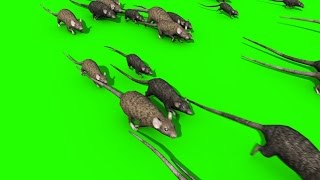 getlinkyoutube.com-Green Screen Invasion of Rats Mice Mouse Sniff - Footage PixelBoom